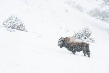 Bison ( Bison bison ) trotzt bei Schneefall dem  harten Winter, Yellowstone NP, Wyoming, USA. von wunderbare Erde