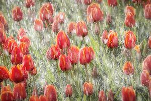 Tulpen worden beregend in de Noordoostpolder