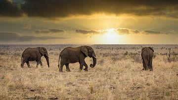 Les éléphants (Chordata) von Anton Van Beek