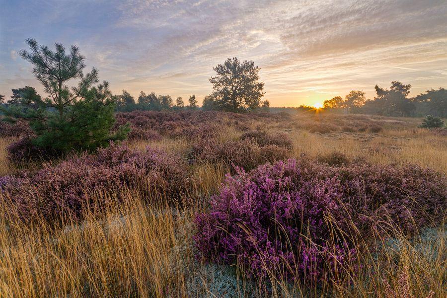 Laatste Heide in het Eerste Licht