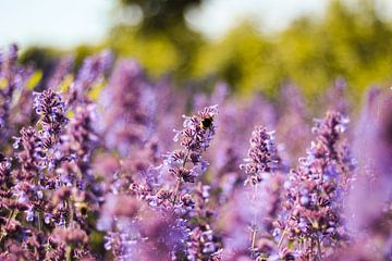 Hommel in een lavendelveld van Florian Kampes