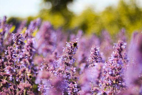Hummel im Lavendel Feld