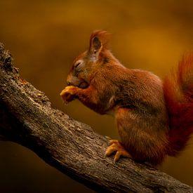 Eekhoorn in de herfst van Lofsart - Pascal Jonckers