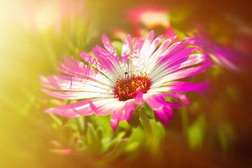 Sonnenanbeter rosamagic van