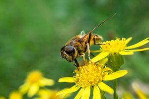 Bezige bij op een gele bloem van