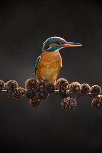 Eisvogel auf Fichtenzweig im Gegenlicht im Wurf