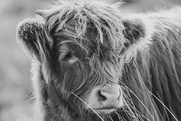 Schotse hooglander koe van Dirk van Egmond
