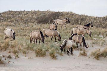 Wilde paarden in de duinen, Bloemendaal aan zee van Janny Beimers