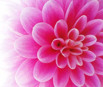 Pink Dalia von Lotte Veldt