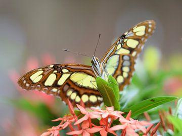 Close-up van een groen met bruine vlinder van Kim de Been