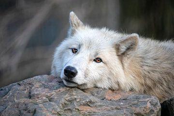 Hudson Bay wolf van Edwin Butter
