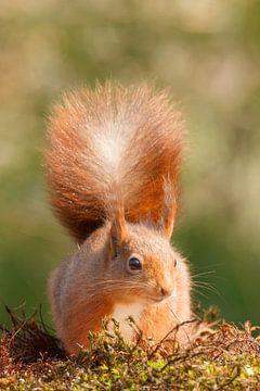 Portret van een eekhoorn van Arjan van de Logt