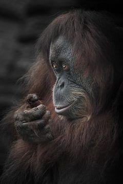 Sluwe slimme blik glimlach van een vrouwelijke orang-oetan, rood haar verduisterde randen foto, port van Michael Semenov