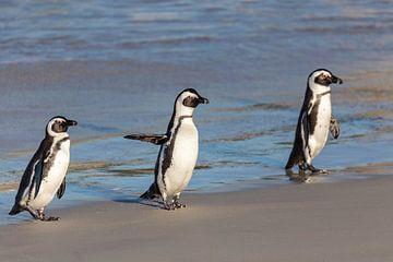 Pingouins sauvages sur Dennis Eckert