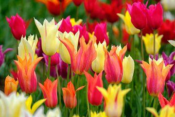 Kleurijke tulpensoorten van Joke Beers-Blom