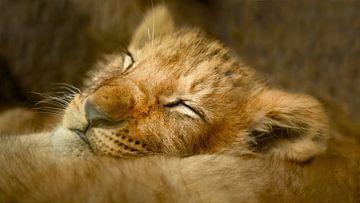 Löwenjunges von Maurice Cobben