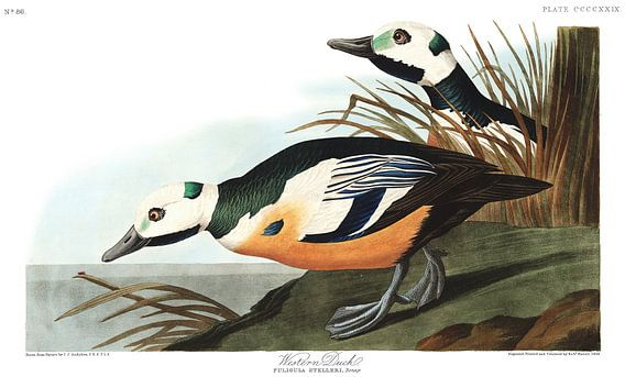 Stellers Eider van Birds of America