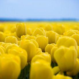 tulipes jaunes, beau champ de tulipes sur Patrick Verhoef