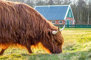 Schotse Hooglander met rovershut texel