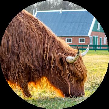 Schotse Hooglander met rovershut texel van Texel360Fotografie Richard Heerschap