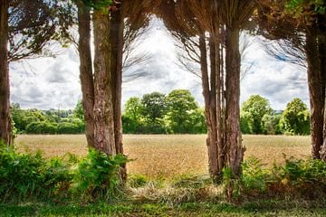 vue à travers de grands arbres sur les champs de maïs en france sur Ed Dorrestein