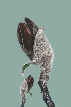 Knospen der Magnolienpflanze als Kunst