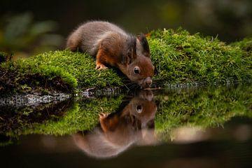 Baby eekhoorn met reflectie van Isabel van Veen