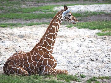 Netgiraffe, of Somalische giraffe : Diergaarde Blijdorp van Loek Lobel