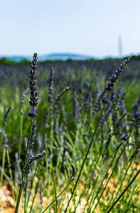 Lavendelplant uit de provence van
