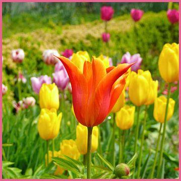 Rote Tulpe im Tulpenbeet von Barbara Hilmer-Schroeer