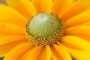 Rudbeckia hirta 'Prairie Sun'