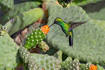groene kolibrie in cactus van