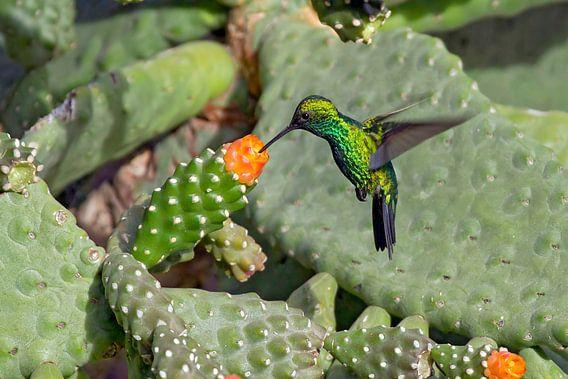 groene kolibrie in cactus van gea strucks