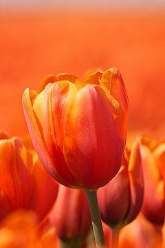 Tulpe von Pieter van Dijken