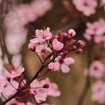 Des arbres roses en fleurs au printemps en mars sur J..M de Jong-Jansen