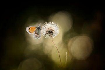 An ordinary butterfly van Bob Daalder