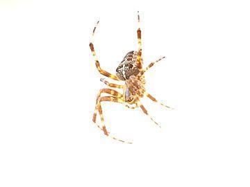 spin van Joelle van Buren