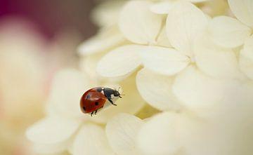 ladybug von Annette Sturm