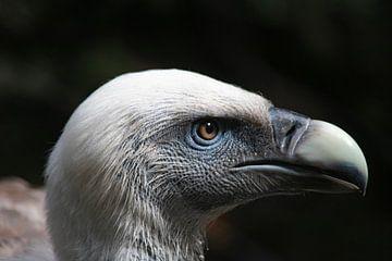 Vale Gier Zuid-Europees dier roofvogel van Evelien van der Horst