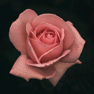 Roze roos met druppels van Saskia Schotanus