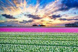 bloembollenvelden in bloei van