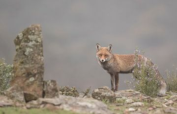 Vos / Fox von Pascal De Munck