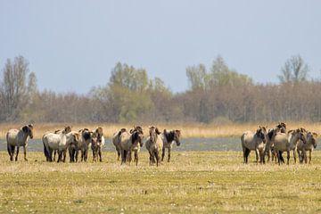 Konikpaarden van Goffe Jensma