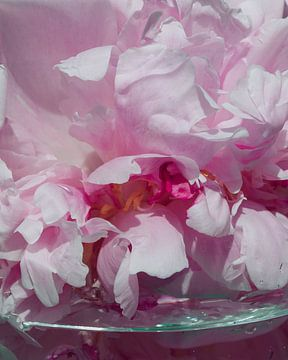 Pfingstrose in Glas Nahaufnahme von Emilia Aivazian Fotografie