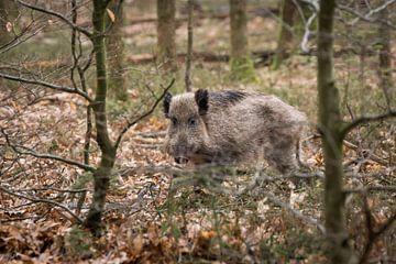 Wild Zwijn van Jacco Bezuijen