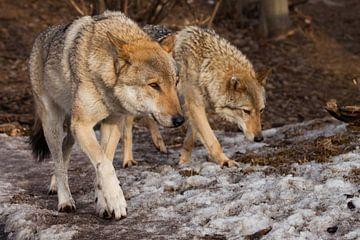 Une paire de loups sur Michael Semenov