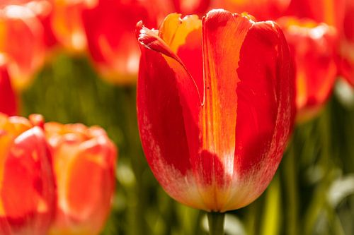Zonnig tulpenveld