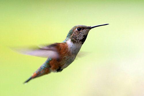 Kolibri van Wim Frank