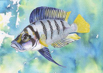 Tropische vis altolamprologus compressiceps van Jasper de Ruiter