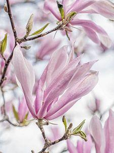 bloesem van een rijk bloeiende magnolia met mooie pastel tinten van Hanneke Luit